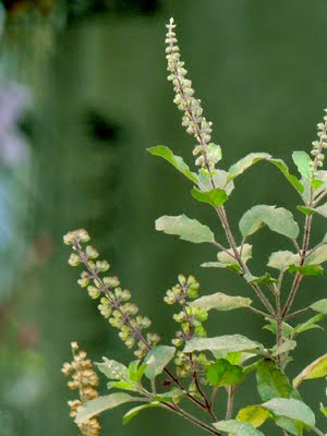 Benefits of Tulsi - Basil